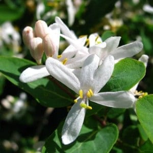 Honeysuckle-e-Liquid-Cloud-Chemistry